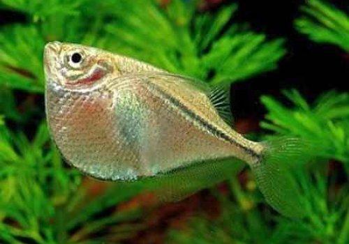 Клинобрюшка стерникла (Gasteropelecus sternicla)