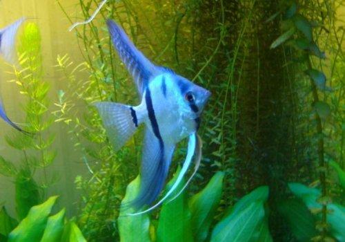 Скалярия голубая (Scalare Blue)
