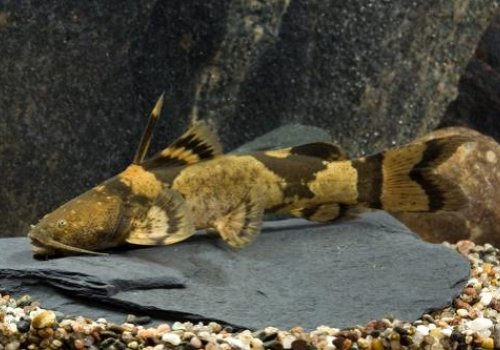 Сиамская касатка (Leiocassis Siamensis)