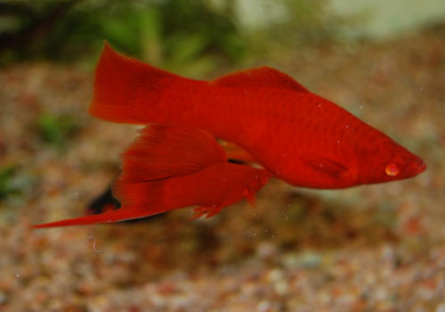 Меченосец рубин (Xiphophorus helleri)