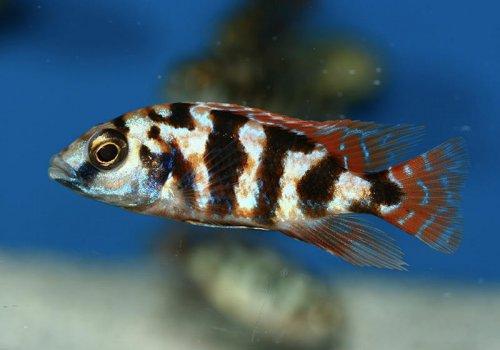 Хаплохромис Миломо (Haplochromis milomo)